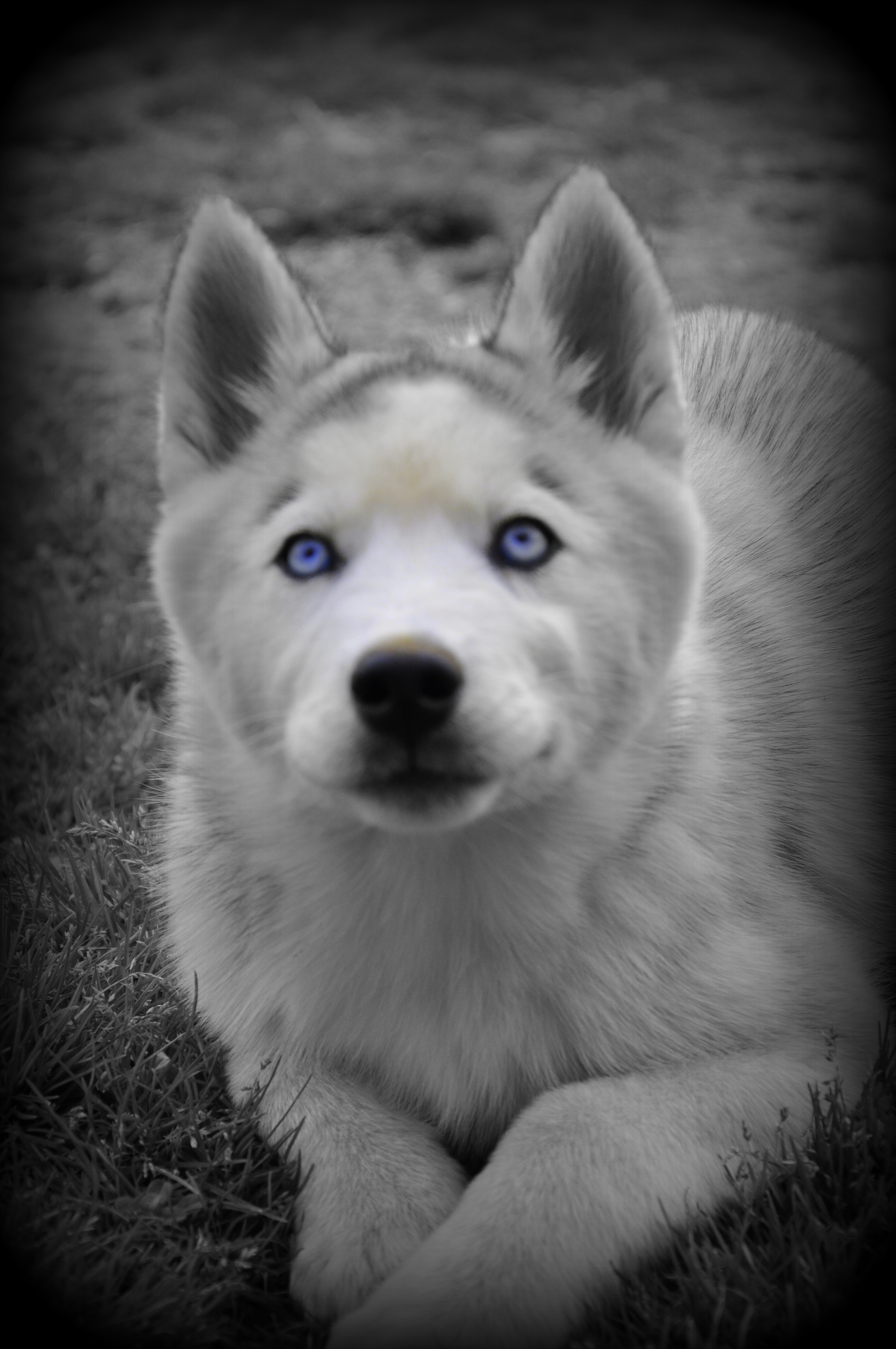 puppy galleries siberian husky puppies for sale siberian. Black Bedroom Furniture Sets. Home Design Ideas