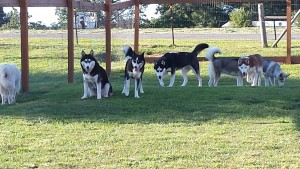 siberian huskies playing on the play ground