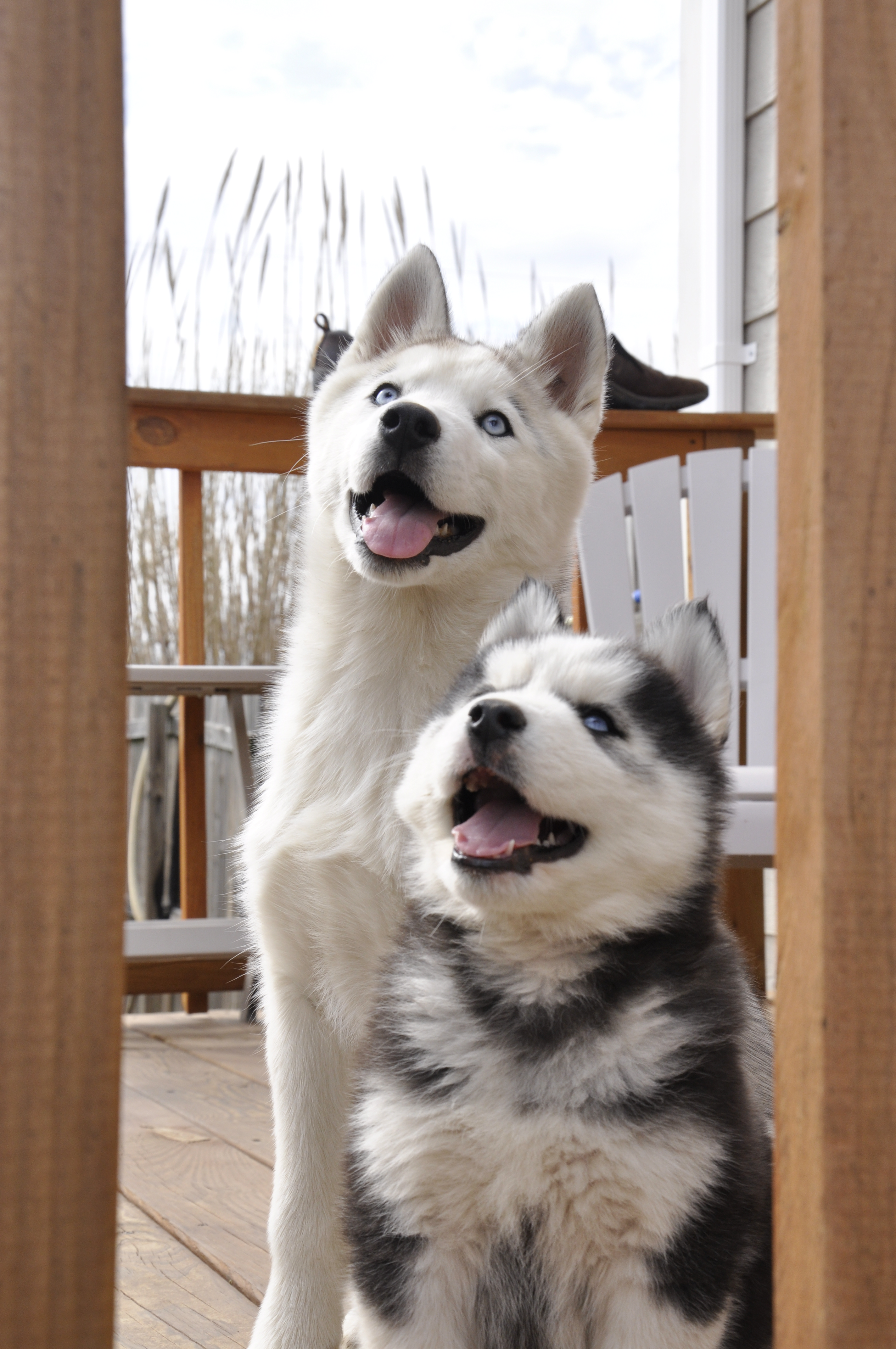 how much do husky puppies cost siberian husky puppies. Black Bedroom Furniture Sets. Home Design Ideas