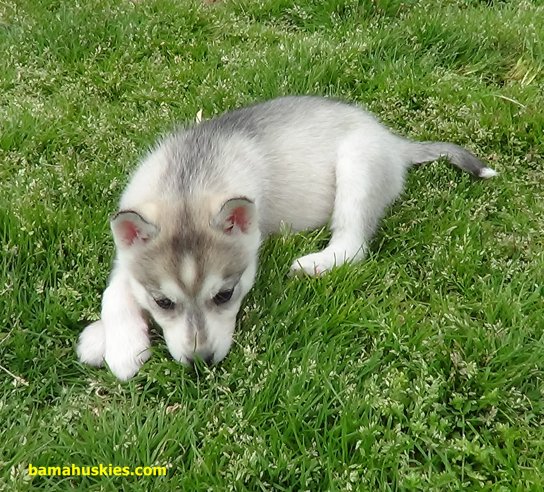 Why Does My Husky Dog Eat Grass Siberian Husky Puppies For Sale