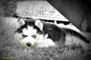 husky puppy with deep blue eyes