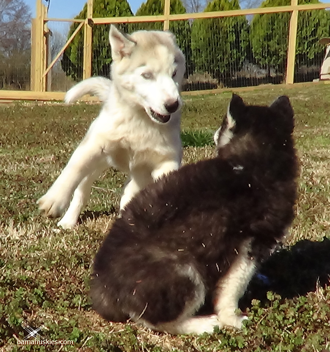 How much is a husky puppy 28 images how much does a siberian how much is a husky puppy how much do husky puppies cost geenschuldenfo Images