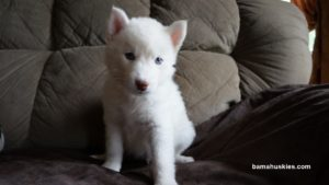 white husky puppy for sale