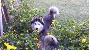 black and white husky plaing in flowers