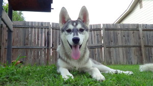 How Much Do Husky Puppies Cost? – Siberian Husky Puppies ...