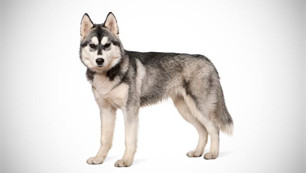 Dog snacks that are unsafe siberian husky puppies for sale - Pictures of siberian huskies ...