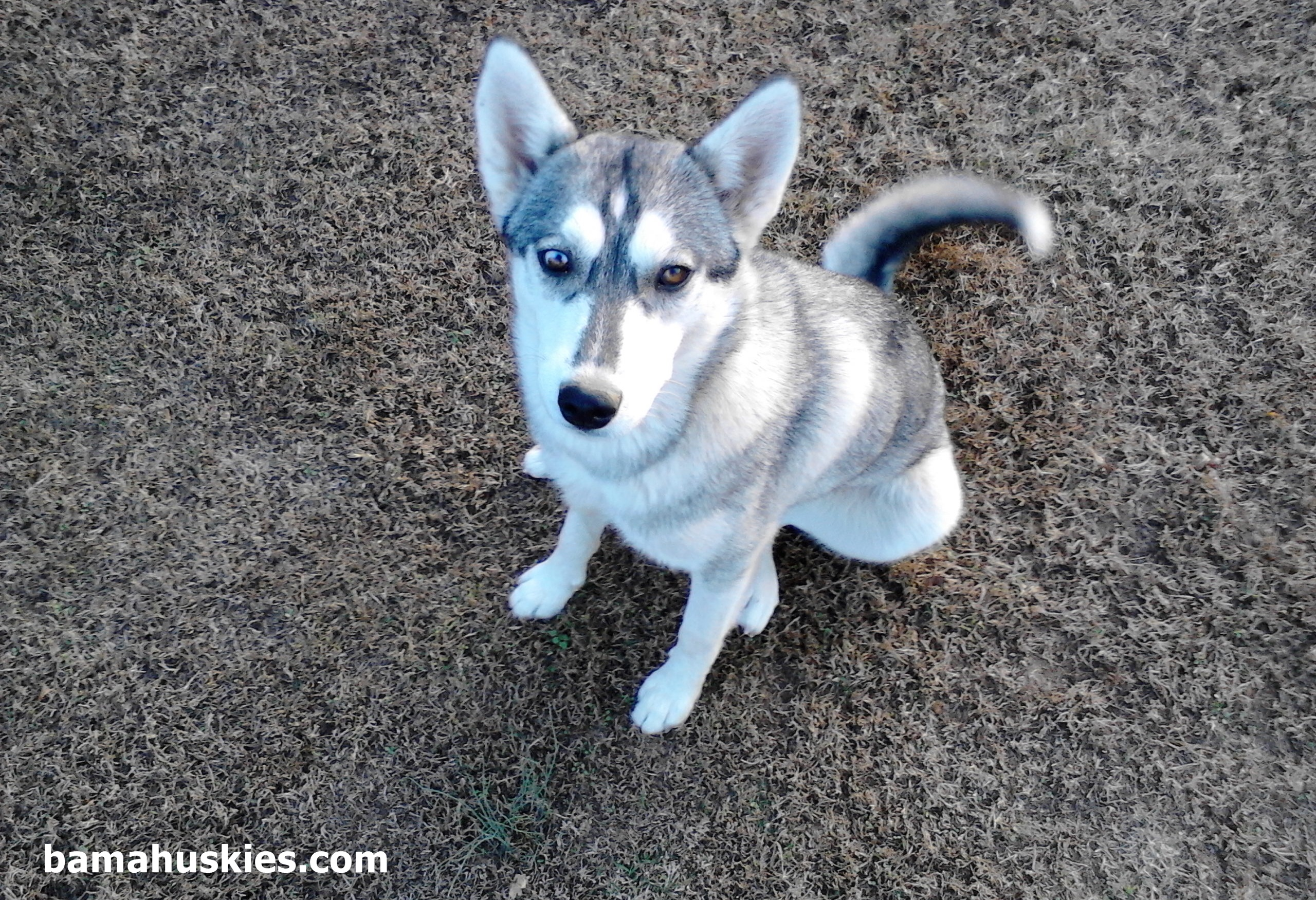 Our Husky Puppy Carley – Siberian Husky Puppies For Sale