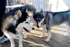 2 huskies near Huntsville Al