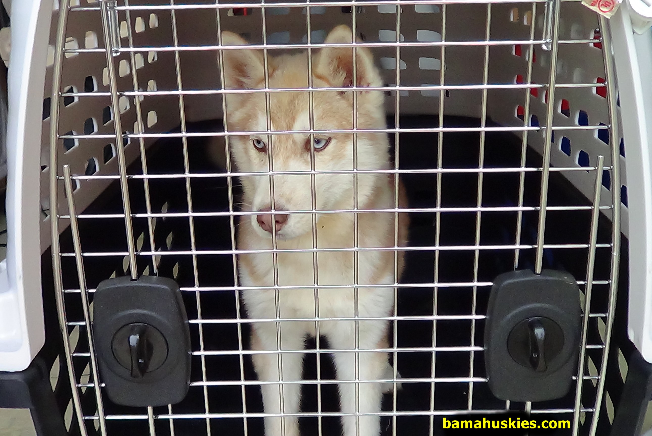 Simple Steps To Crate Train Your Husky Puppy Siberian Husky