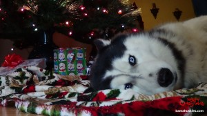 christmas husky Nick