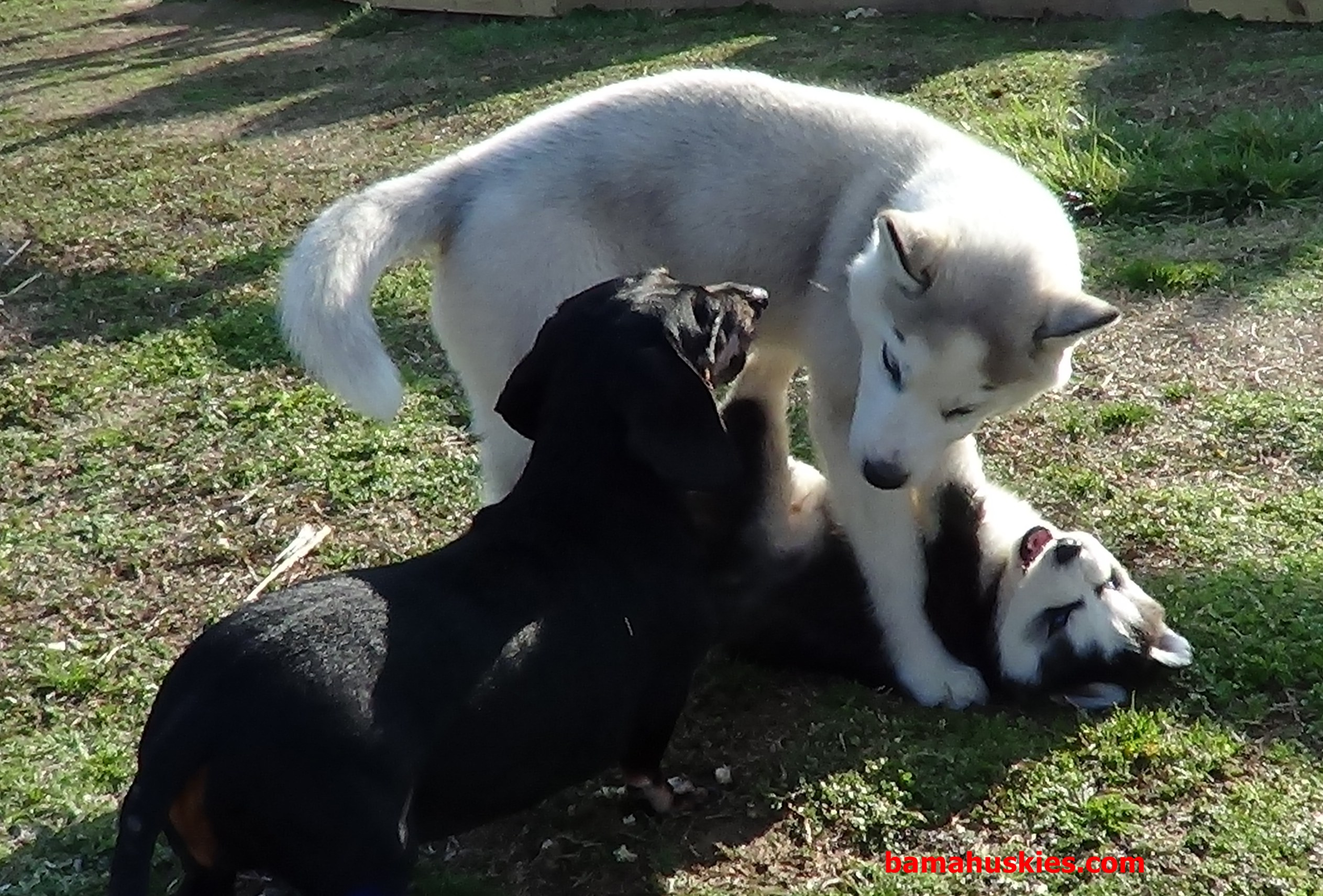 Older Dog Started Biting Husky Puppy With Adult Dogs