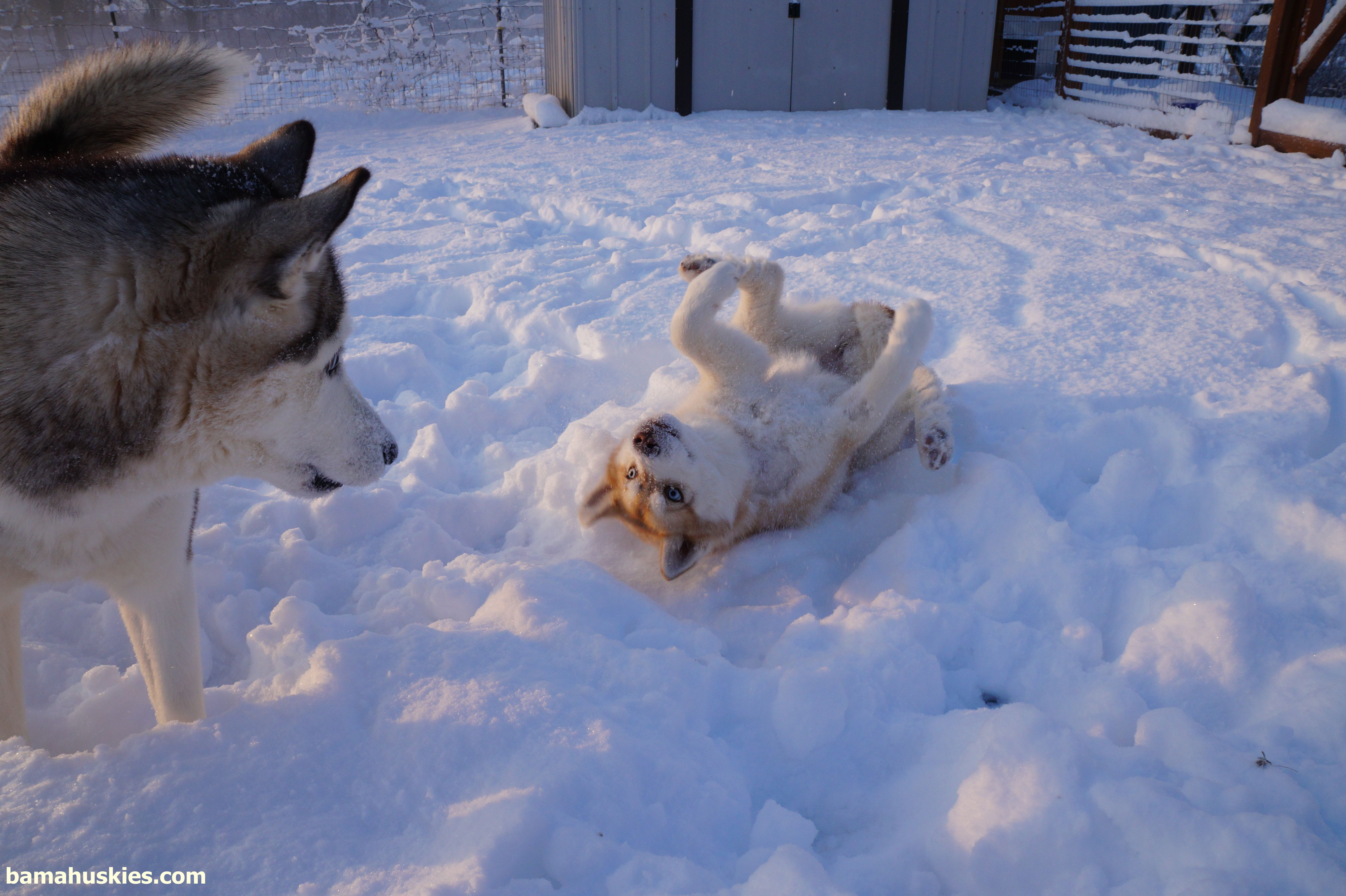 Siberian Husky Puppies For Sale - For Sale Philippines - 7803480