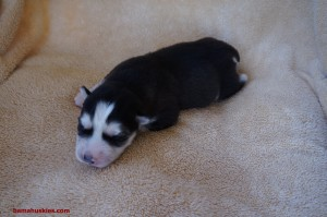 black and white female puppy