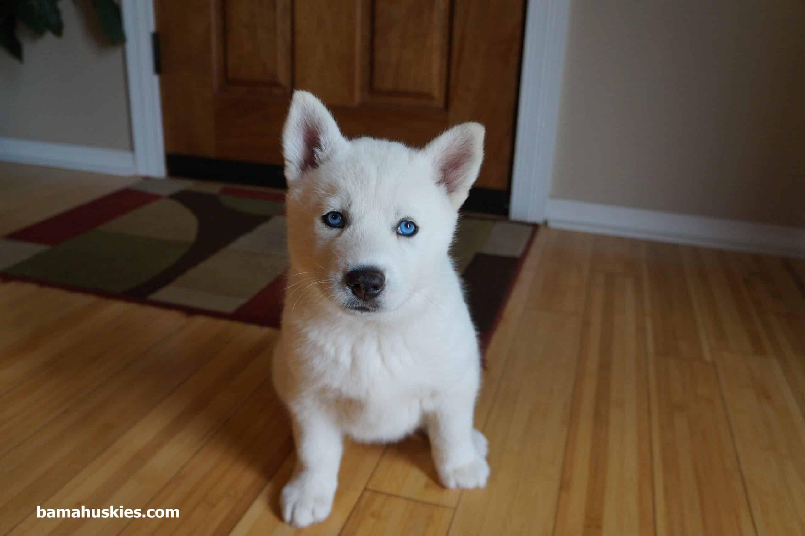 Siberian Husky Puppies For