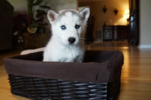grey and white husky in a basket