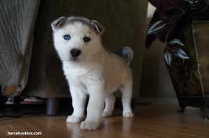 grey and white siberian husky puppy
