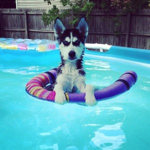 previous husky puppy from Bama Huskies