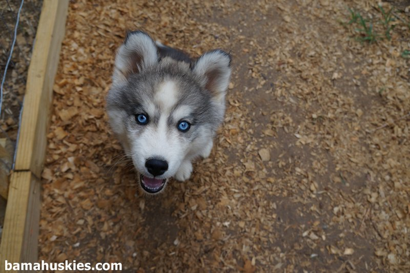 A Look at Our Upcoming Husky Puppies – Siberian Husky