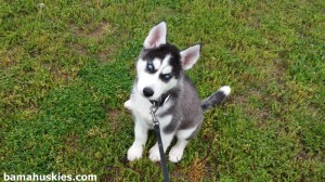 black and white husky puppy