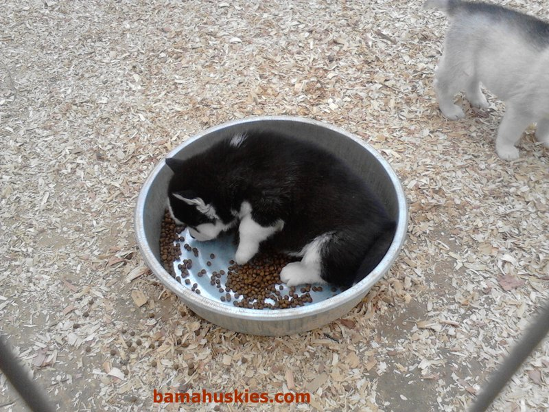 Mack The Food Hog Siberian Husky Puppies For Sale