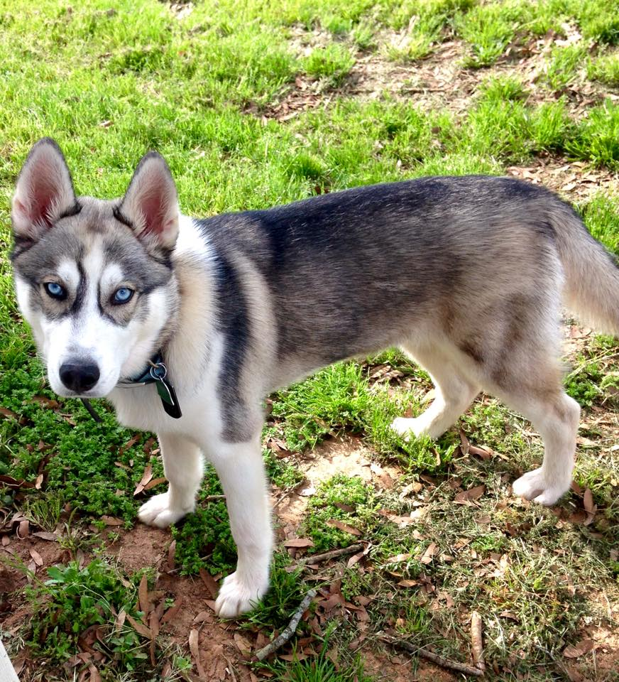 Previous Husky Puppies « Siberian Husky Puppies For Sale ...