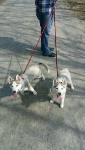 2 grey and white husky puppies from Bama Huskies