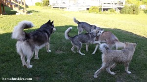 husky dogs playing