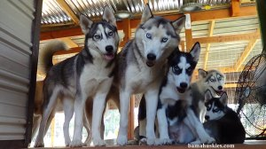 husky puppies looking scared
