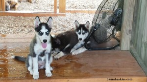 black and white husky puppies