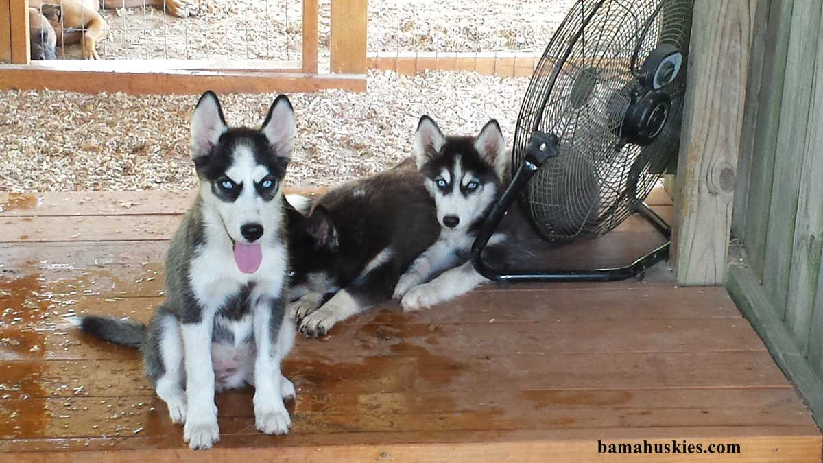 Getting Ready For Husky Puppies « Siberian Husky Puppies ...