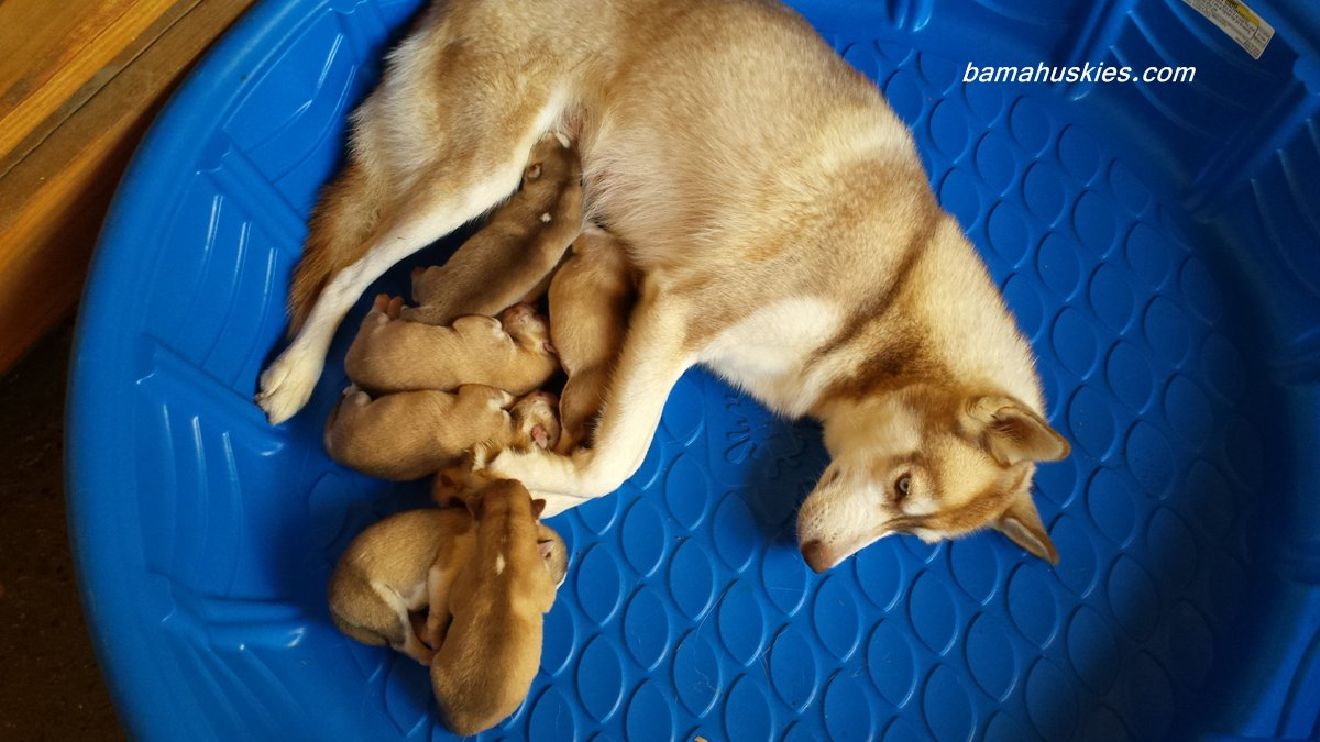 Bellas Red And White Husky Puppies Siberian Husky Puppies For Sale