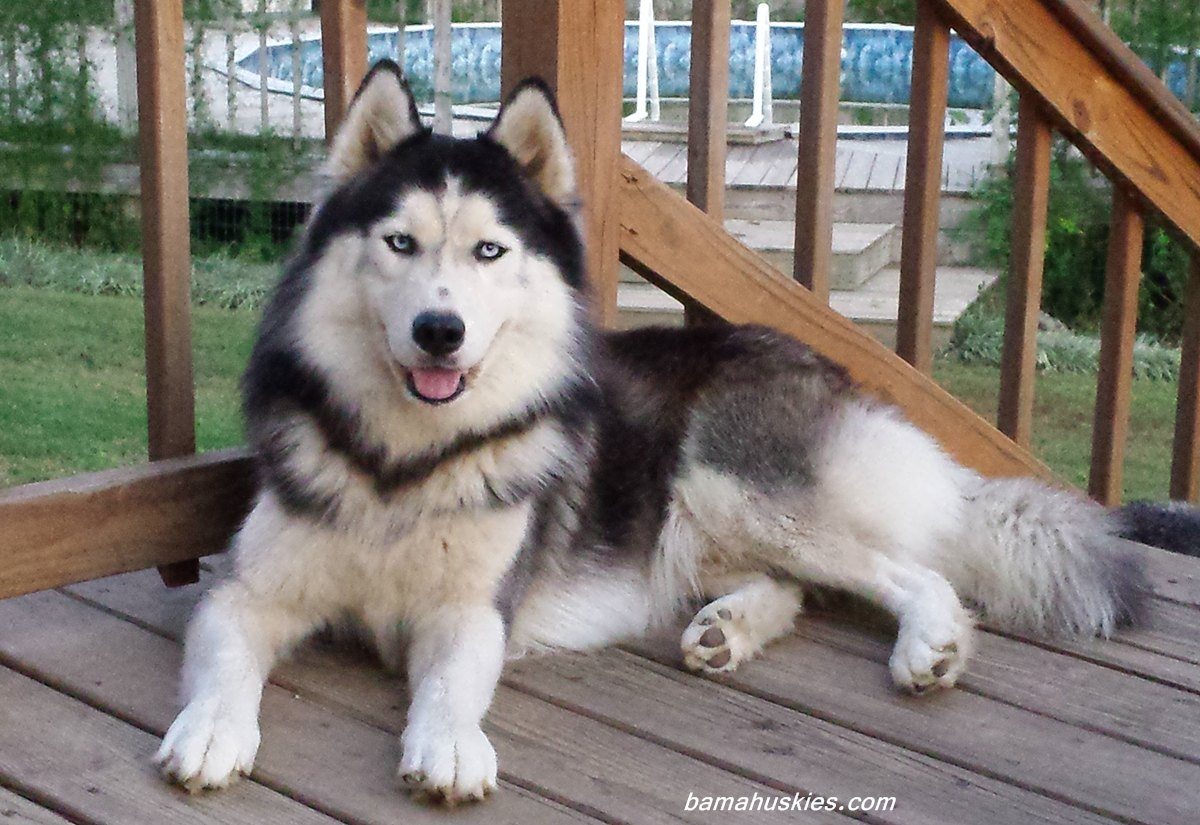 Siberian husky puppies for sale - Best dogs for small spaces pict ...