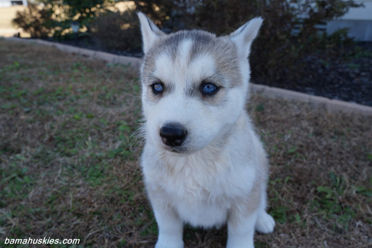 Husky Puppy Aubie Went Home Today Siberian Husky Puppies For Sale