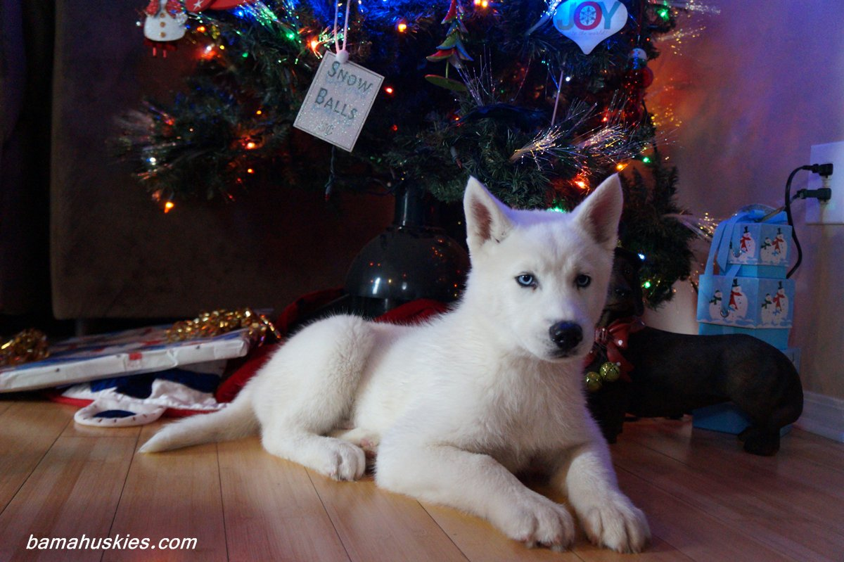 Husky Christmas Puppy.Husky Puppy Jax Went Home Today Siberian Husky Puppies For