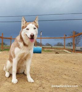 red and white Siberian husky