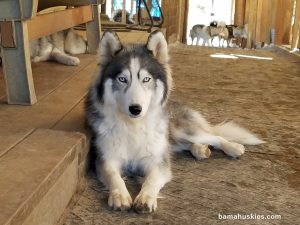 Piper grey and white husky