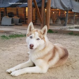 red and white husky