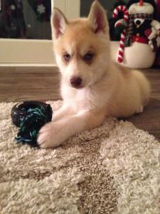 red and white husky puppy with blue eyes