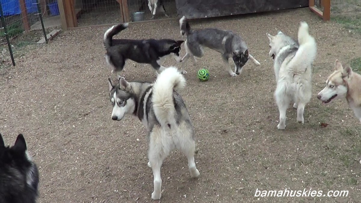 Will An Invisible Fence Work For A Husky? – Siberian Husky Puppies ...
