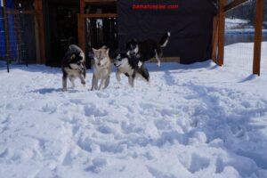 Siberian huskies in the snow in Alabama