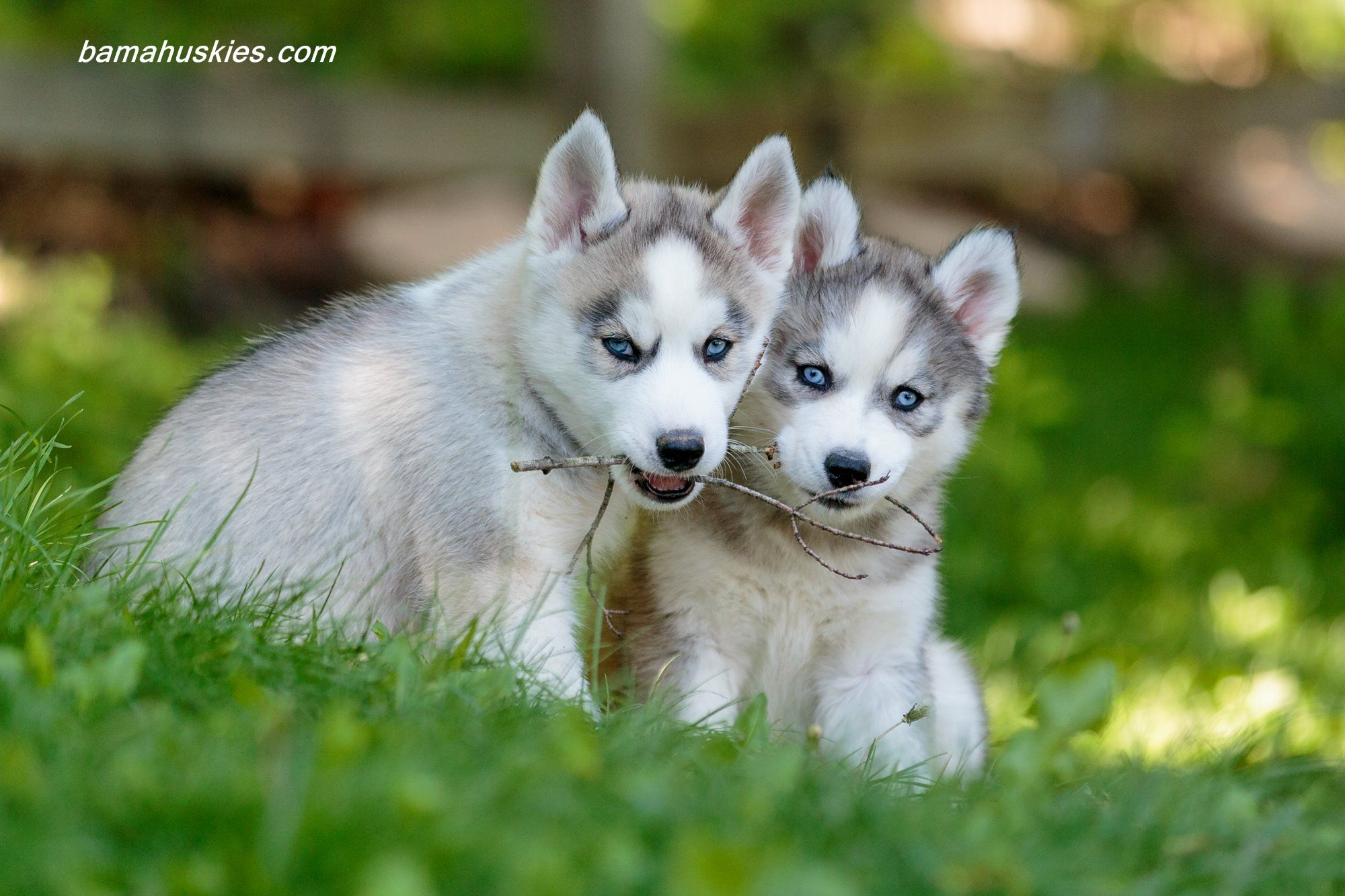 Smart Husky Lies On The Floor Stock Image - Image of husky ... |Smart Husky Puppy