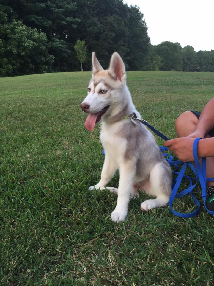 Siberian Huskies For Sale Fall Litters Siberian Husky Puppies For Sale
