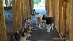 huskies for sale