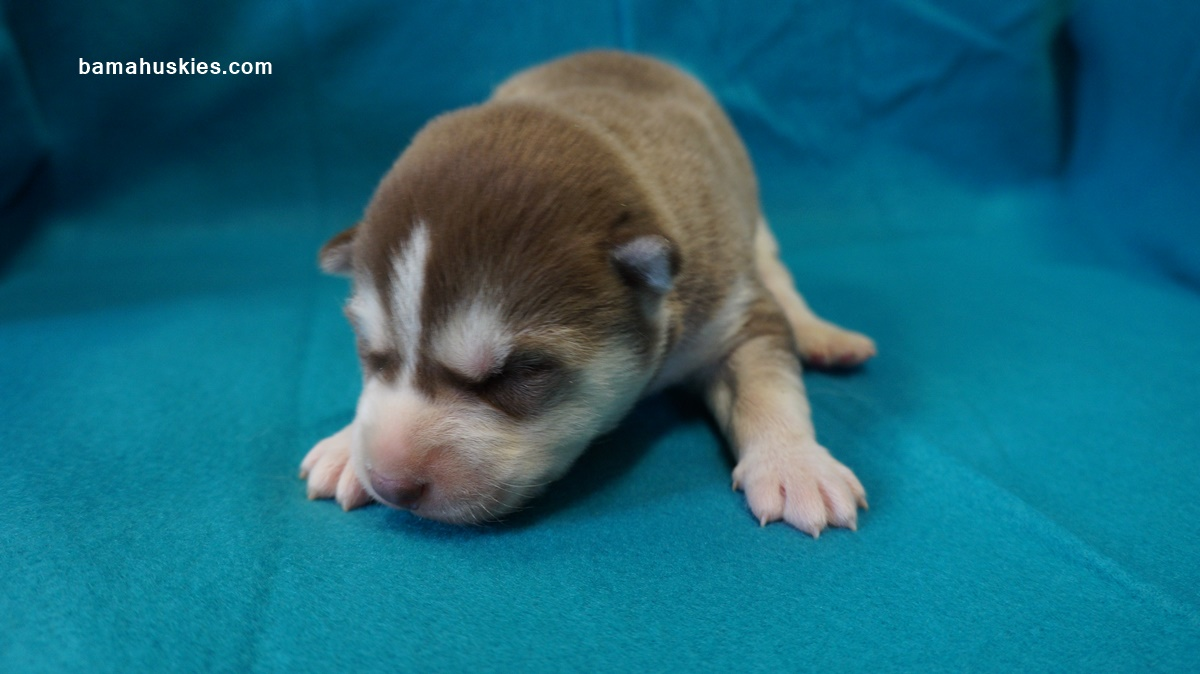 1 week puppy 100 images adorable sleeping puppy 1 week stock s puppies are 1 week siberian husky puppies for sale nvjuhfo Choice Image
