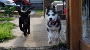 husky puppy runing and playing with another dog