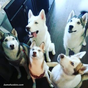 A group of Siberian huskies