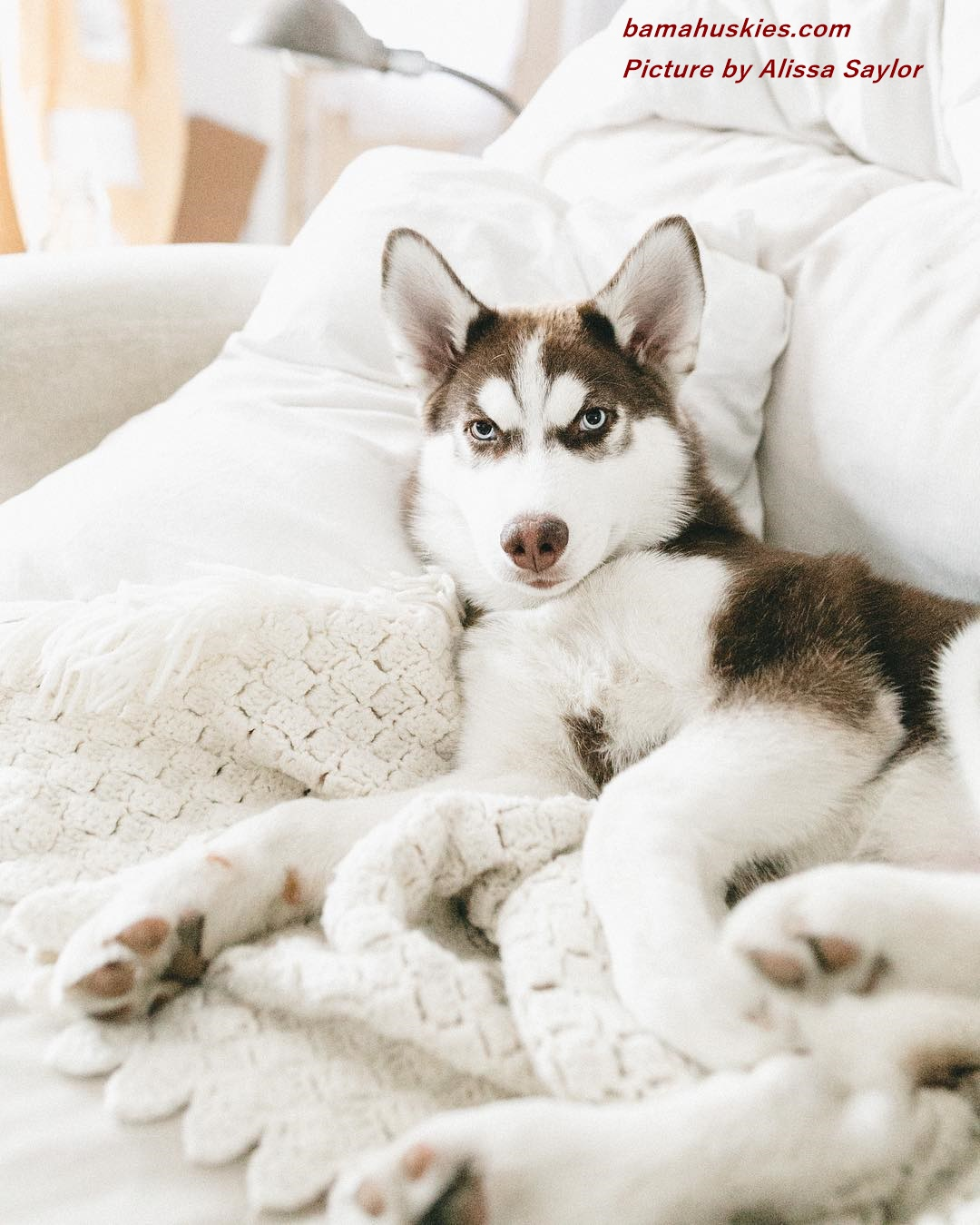 Siberian Husky Puppies For Sale « Siberian Husky Puppies ...