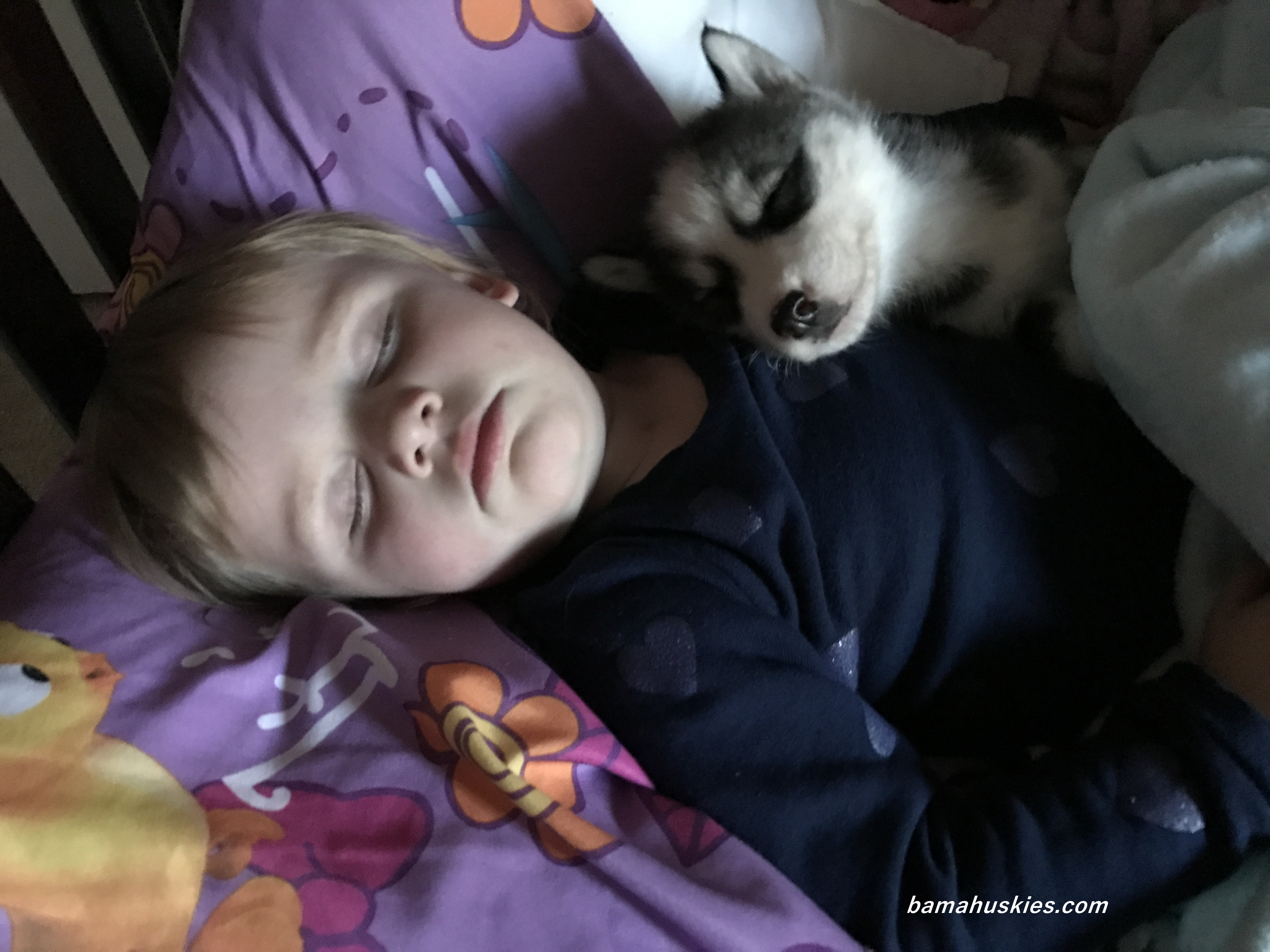 Husky puppies for adoption in california - Husky Puppy For Sale