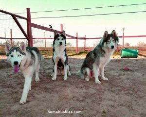 grey and white and black and white Siberian huskie
