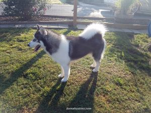 Grey and white Siberian husky